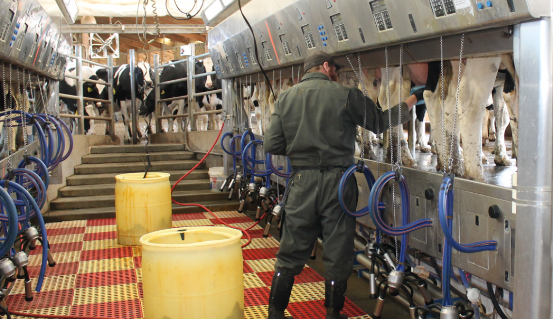 A man milking cows in a parlor