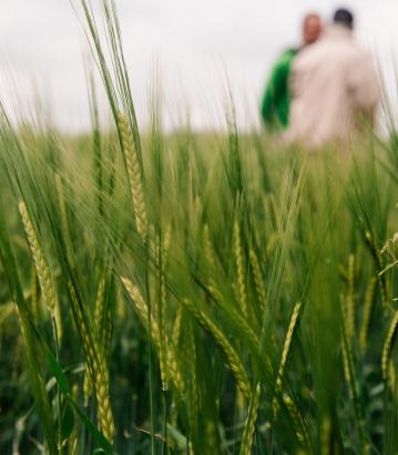 Barley in a field with two people in the distance