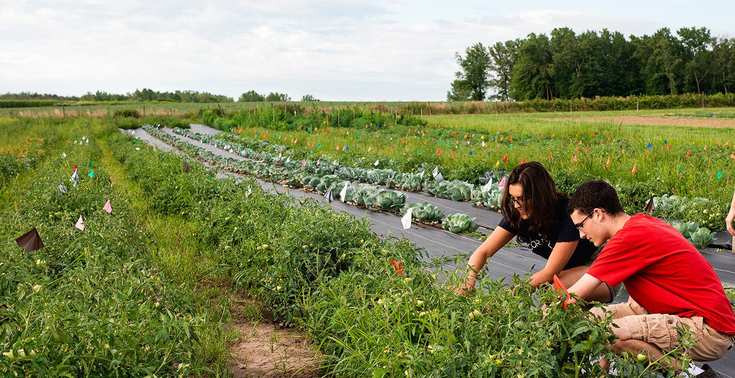 Students work in a a research crop field