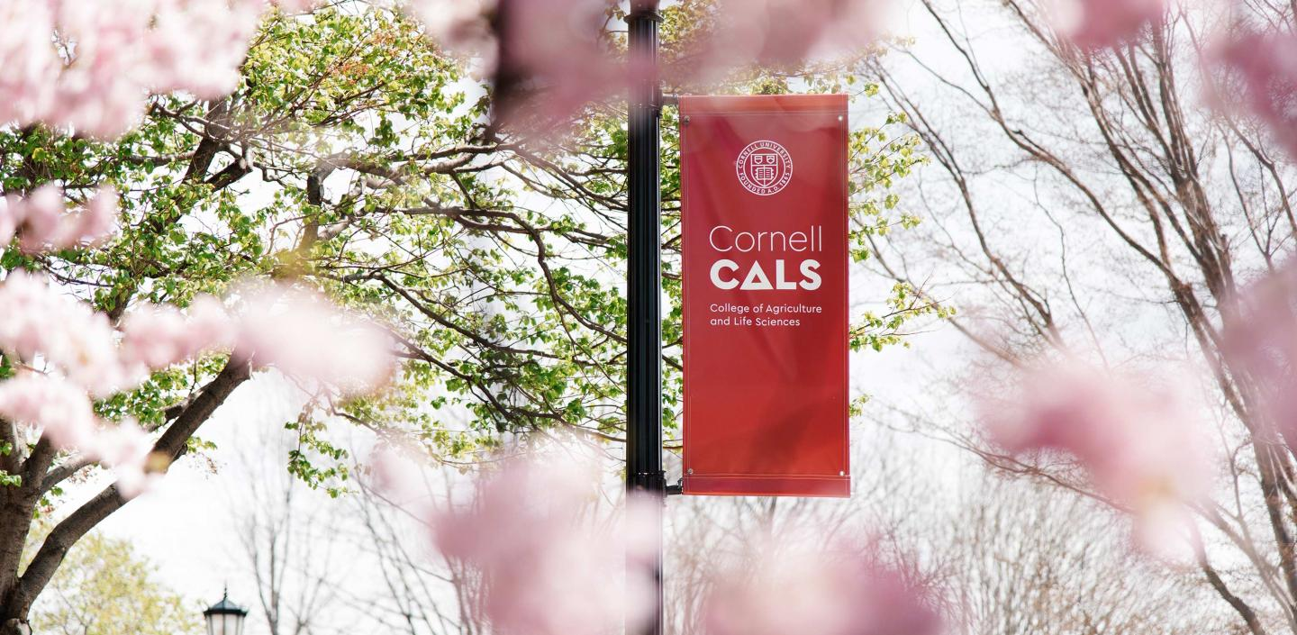 CALS flag pole banner surrounded by blossoming trees