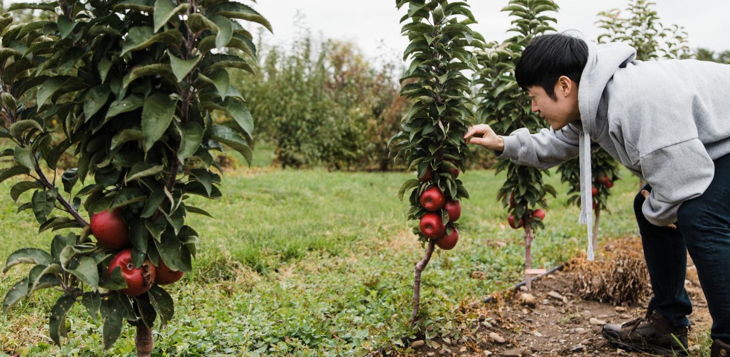 Student studying apple genetics in research orchard.