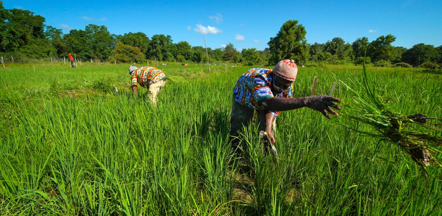 Workers in field harvesting crops
