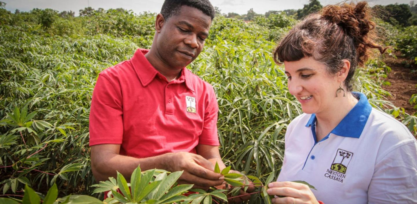 Two scientists inspect cassava growing in a field