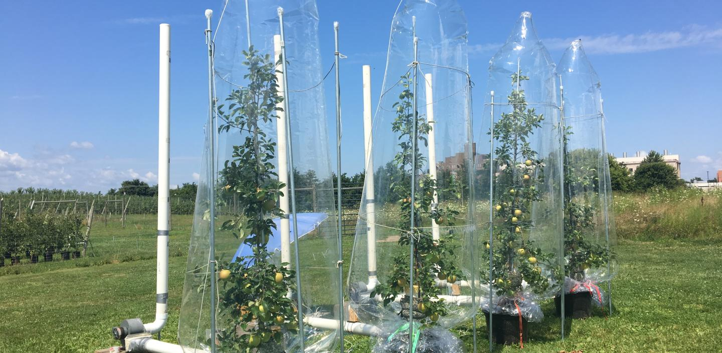 apple trees under clear bags