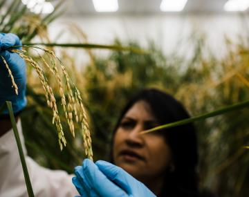 female technician tends experimental rice crops in growth chamber