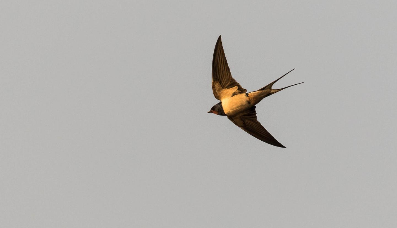 Barn Swallow Behavior Shift May Be Evolutionary | CALS