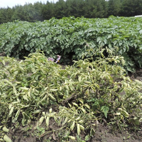 Potato plants in a field