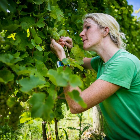 female student inspecting grapes in a vineyard