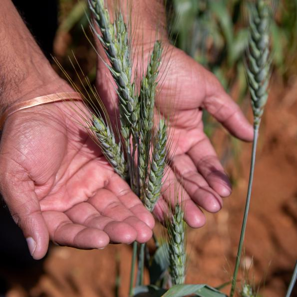 A person stretches their hands out, pressing a stalk of wheat between them