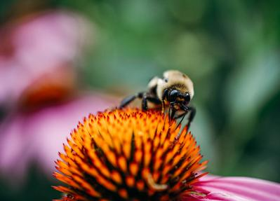 A bee pollinates a flower in Minns Garden