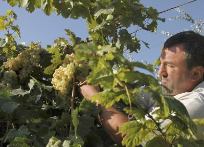 Man picks grapes from a vine