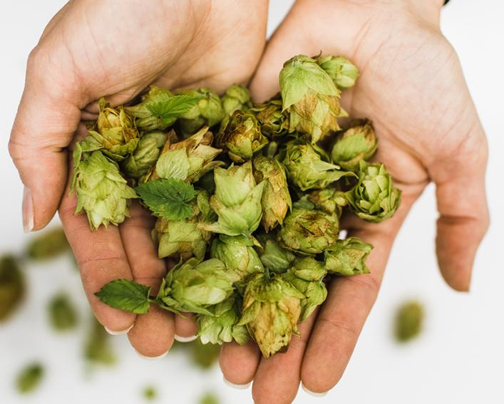 Close up of hands holding hops