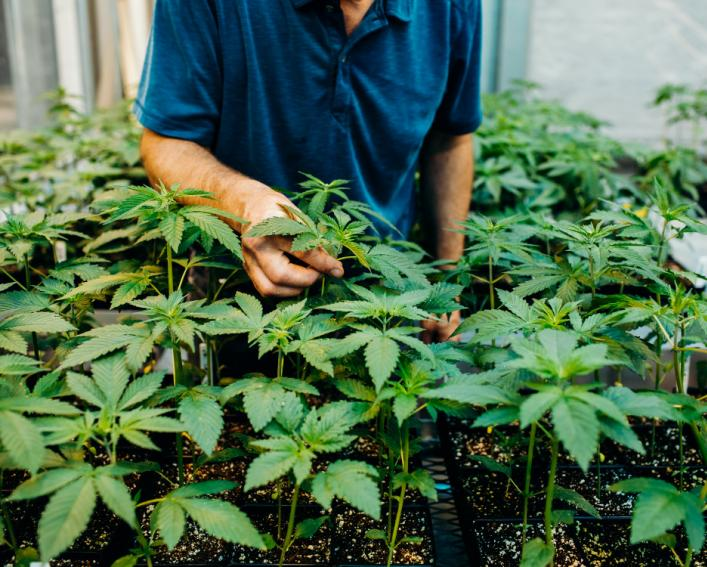 Person handling hemp plants.
