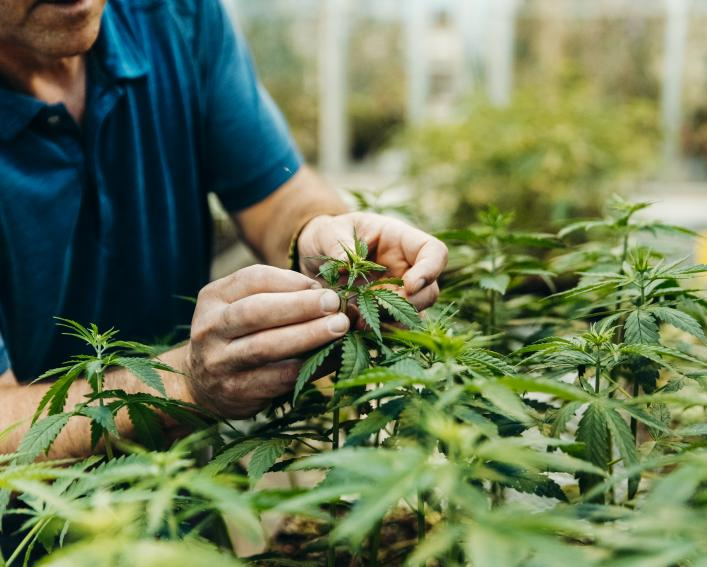 Hands working with hemp plants in greenhouse