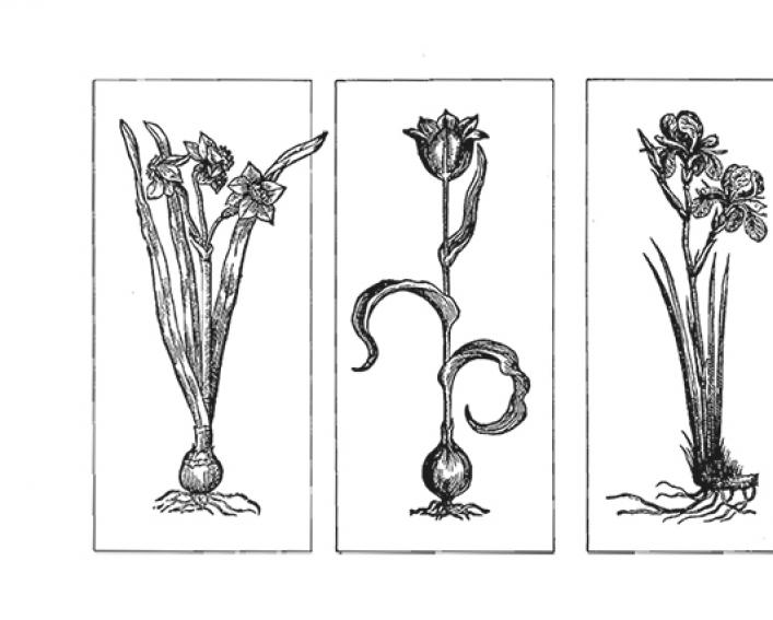 line drawings of 3 flowering bulbs