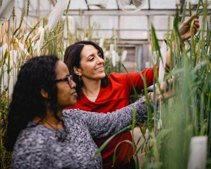 two women examining wheat plants in a greenhouse