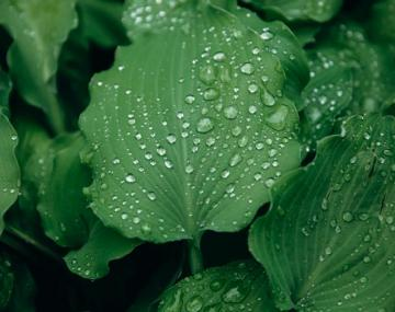 Leaves with water droplets on them