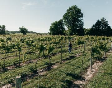 Rows of grape vines growing.