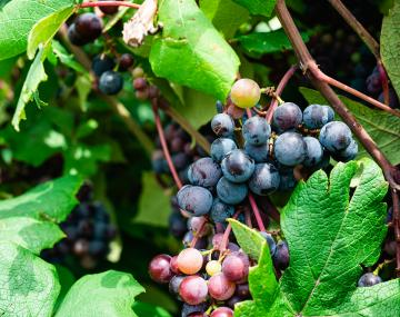 Colorful grapes on the vine.