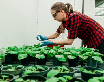Graduate student working with diseased plants in growth chamber