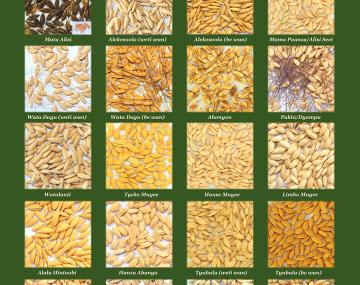 poster showing diverse appearance of varieties of saamaka rice
