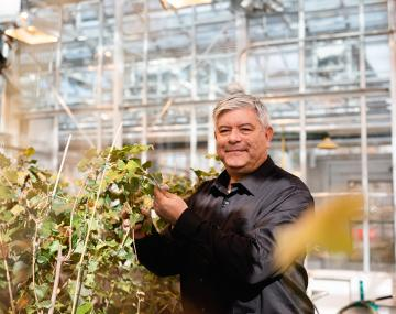 A man in the greenhouse examines grape plants