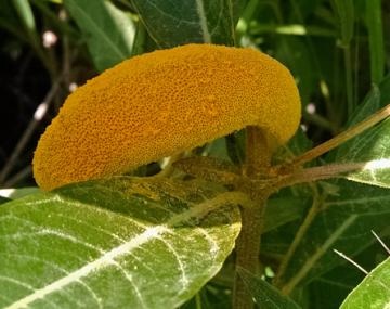 orange fungus growing on a leaf