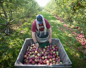 Man collects apples at an orchard